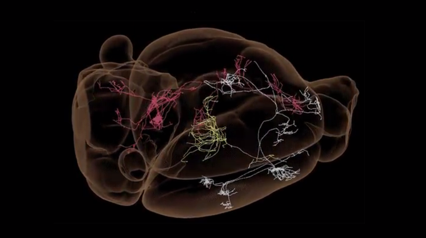 Extensive Map of Mouse Brain Wiring